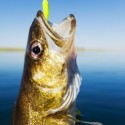 Advice for Choosing Walleye Bait