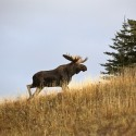 Everything You Need to Know About Moose Antlers