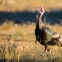 Beginners Guide to Hunting Wild Turkey