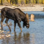 Moose Behavior