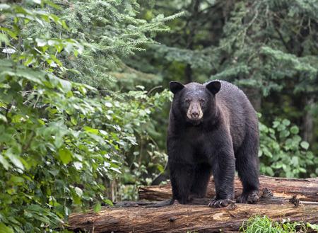 Bear Hunting in Saskatchewan
