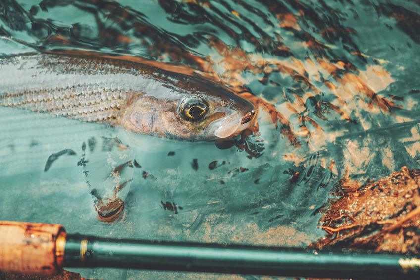 Arctic Grayling Fishing in Saskatchewan
